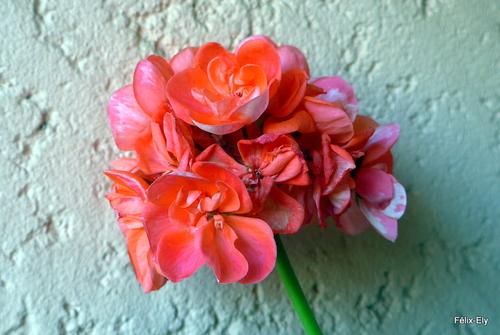 Fleurs rouges du géranium