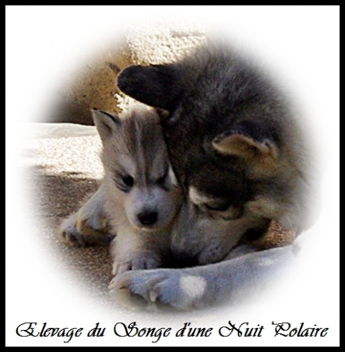 Chiots Huskys Groupe (36j)