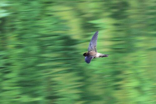 Salangane des Mascareignes (Mascarene Swiftlet)