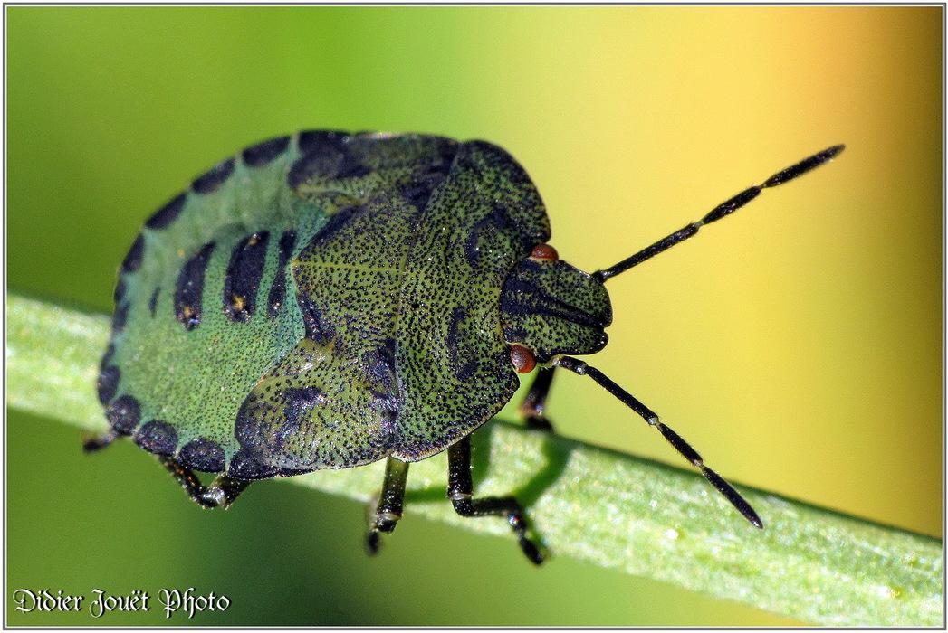 Punaise Verte / Palomina prasina