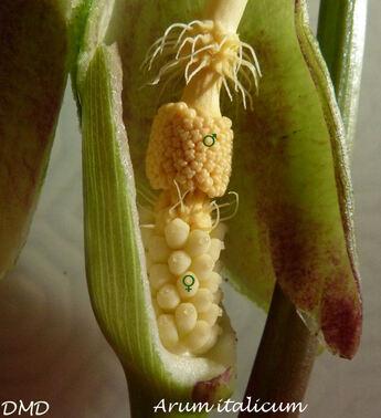 Arum maculatum  -  arumt tacheté