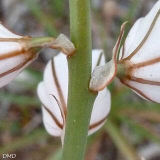Asphodelus fistulosus - asphodèle fistuleux