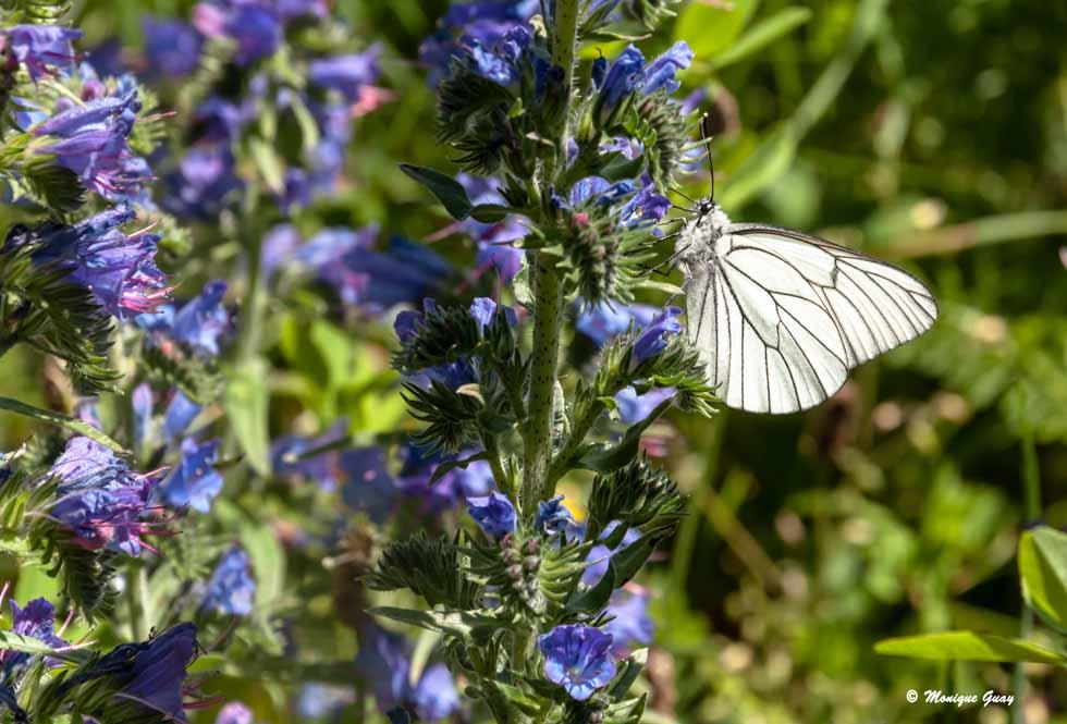 Papillon Gazé sur Vipérine commune