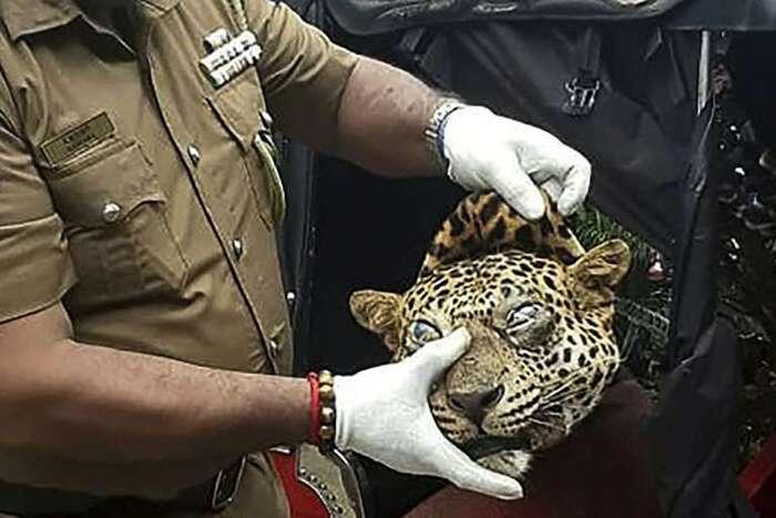Sri Lanka: ils voulaient vendre la viande d'un léopard pour soigner l'asthme