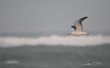 Goéland marin - p370