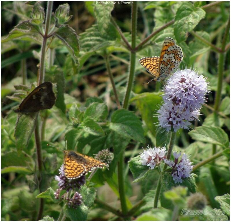 Papillons Mélitée du mélampyre