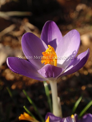 crocus-B-copie-1.jpg