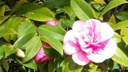 parc floral - camélia