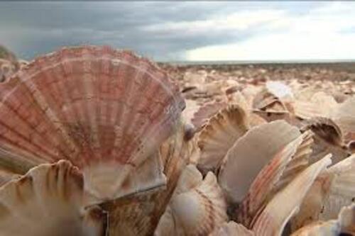 La coquille Saint Jacques, un mollusque bien aimé