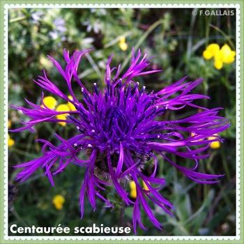 Centaurée scabieuse-Centaurea scabiosa