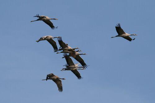 Grue Cendrée (Common Crane)