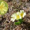 Primevère élevée (Primula elatior) d'une hauteur de... 5 cm (2220 m)
