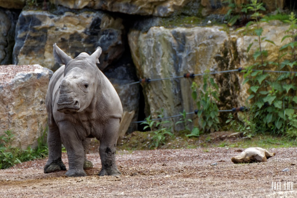 Eléonore et son petit rhinocéros blanc Sethemba, nouvelles photos