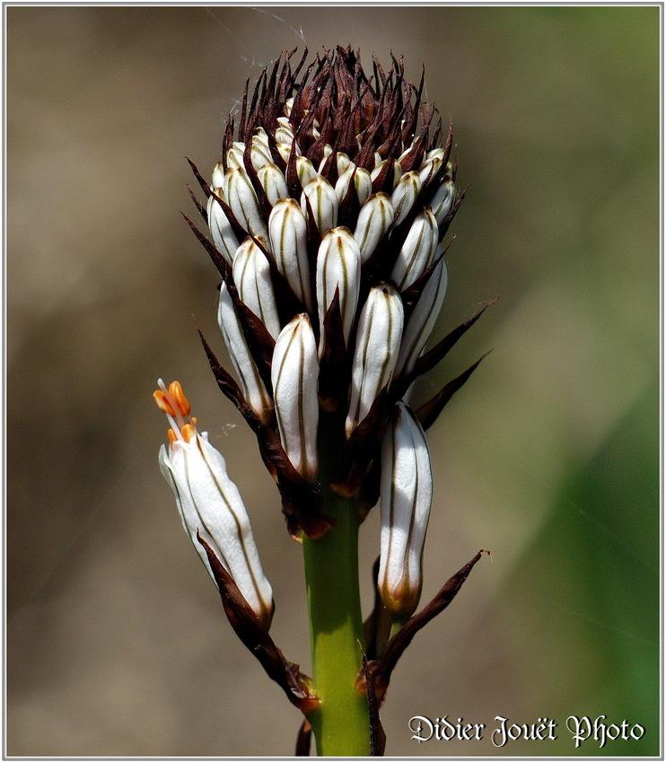 Asphodèle Blanc / Asphodelus albus