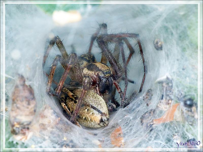 Câlins d'araignées Agélène labyrinthe (Agelena labyrinthica) - Lartigau - Milhas - 31