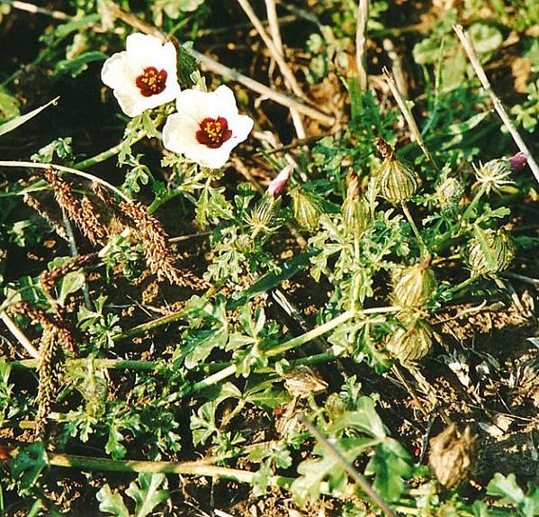 627px-Hibiscus trionum