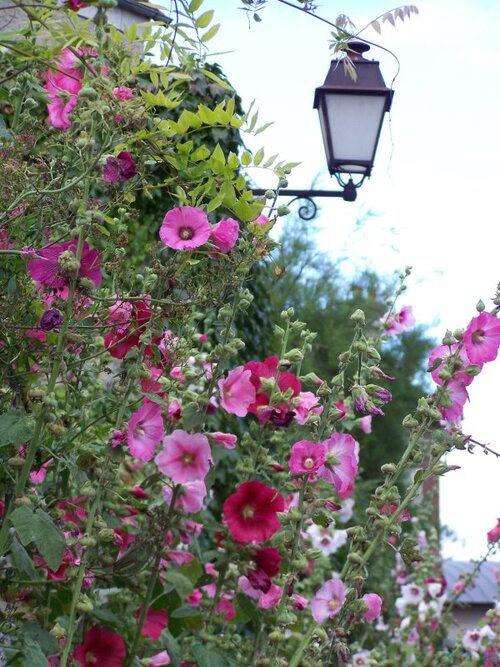 les roses trémièresdu jardin
