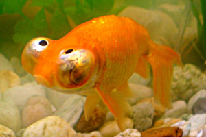 poisson rouge, poches, contour yeux