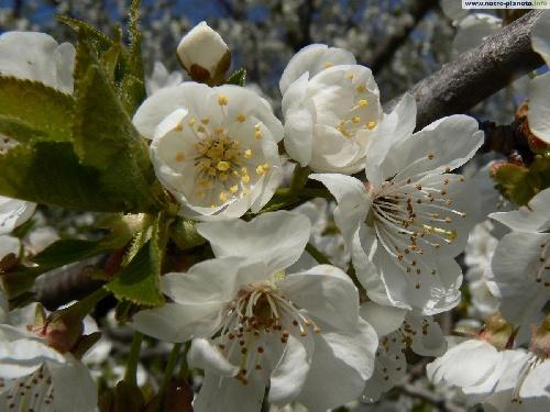 cerisier!!!