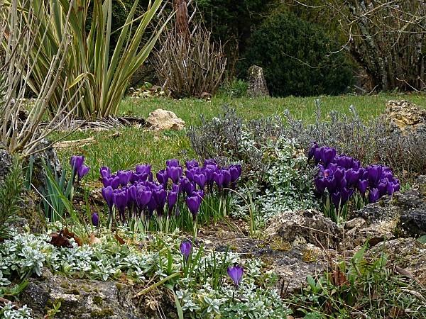 Crocus violet T