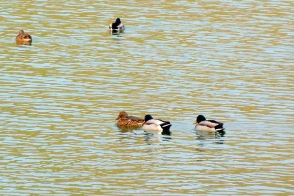 w15 - Les canards