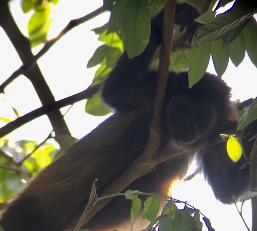 Costa Rica les singes