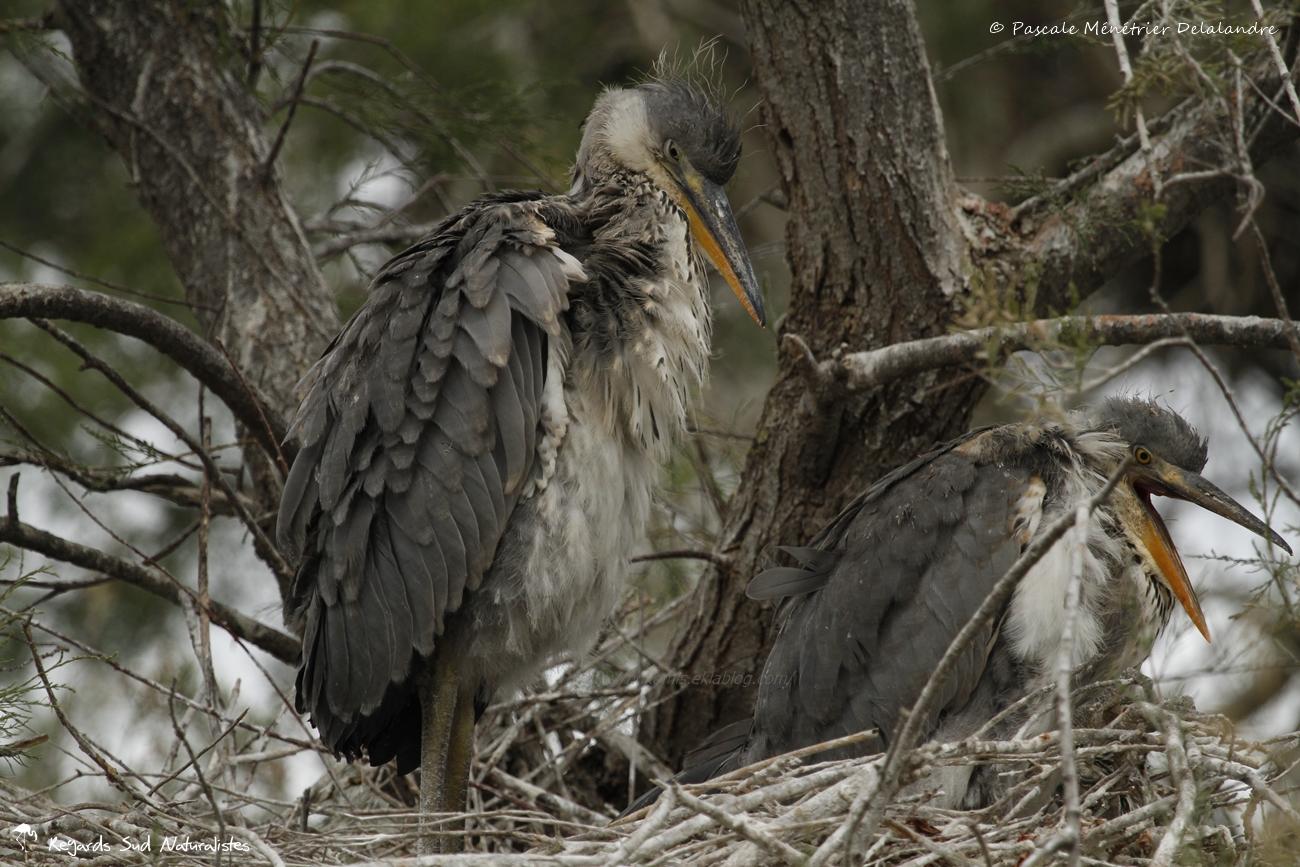 Bébés Hérons cendrée au nid