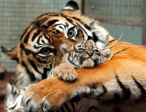 tube tigre 8