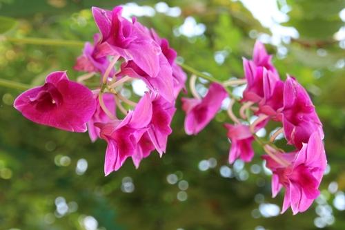 Fleurs du Laos (2)