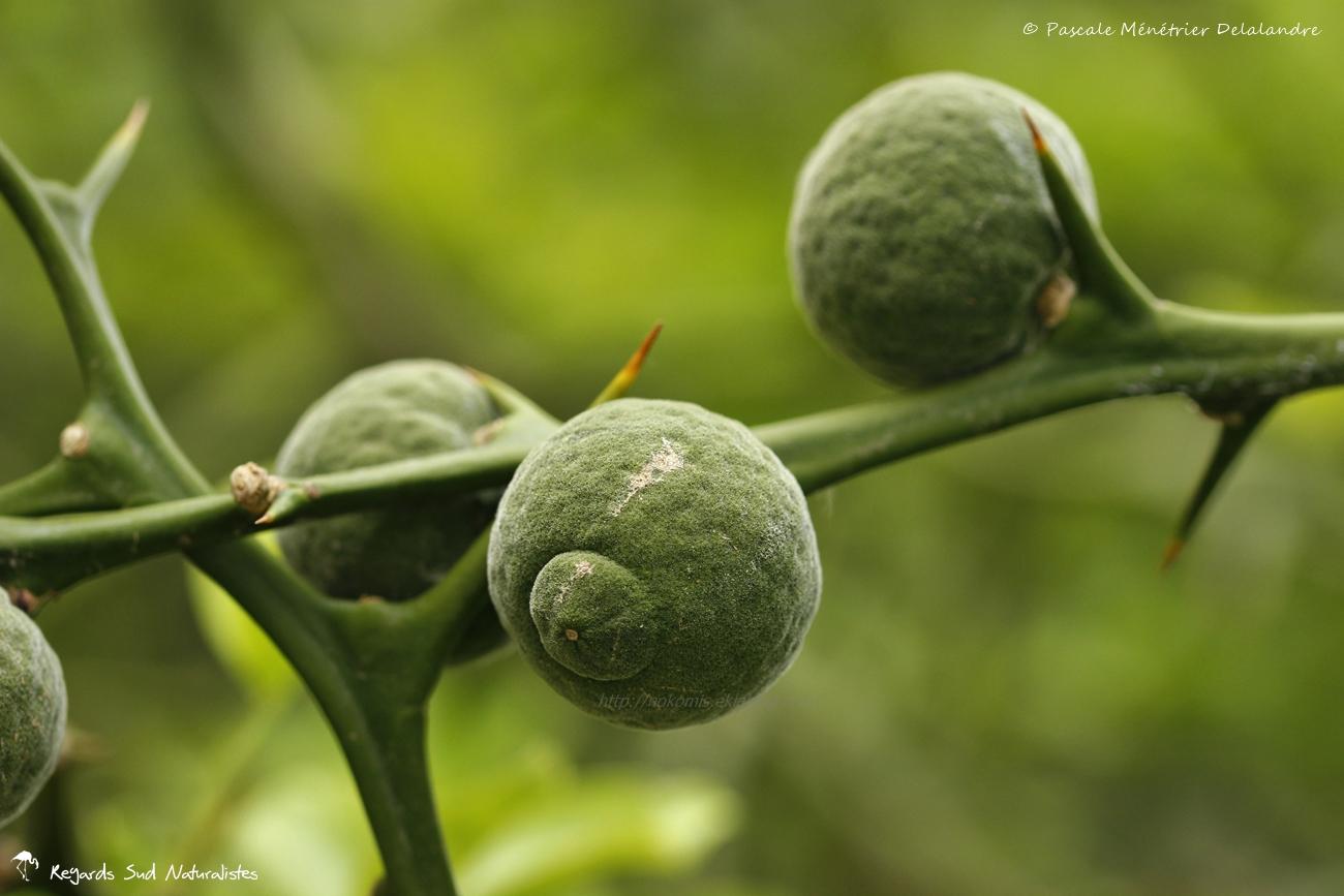 Citronnier épineux ou Oranger trifolié - Poncirus trifoliata