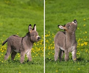 L'histoire de Tiny, le tout petit âne gris ...