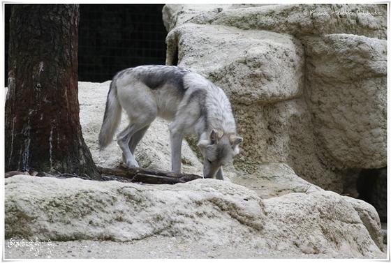 Loup de Mackenzie (Canis lupus mackenzii)
