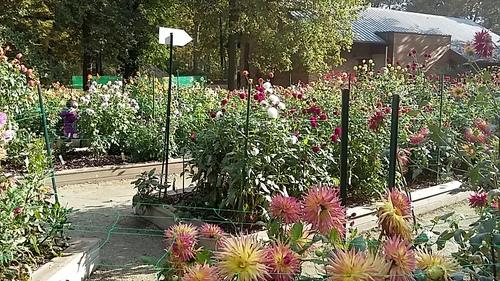 variétés de dahlias