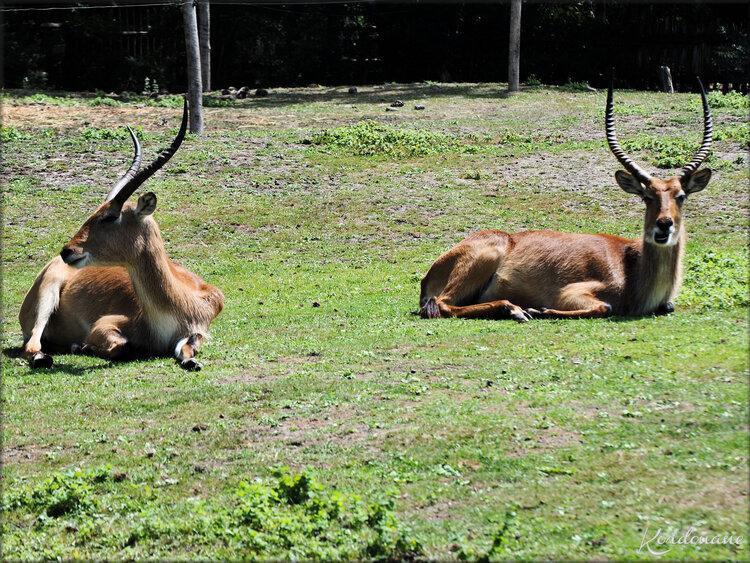 Photos de Damalisque (Zoo de Pessac)