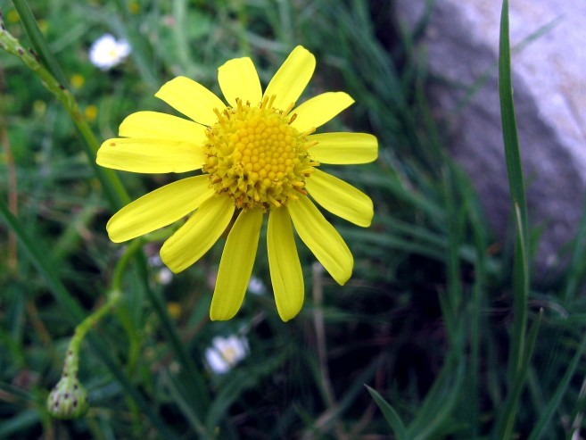 Anthemis sauvage 3701