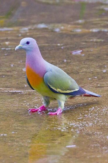 The Pink-necked Green Pigeon is NOT photoshopped.  It is found in Southern Asia.