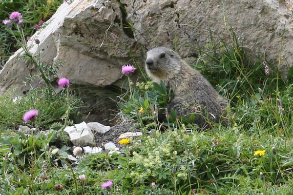 Les Marmottes du vallon des Aiguilles