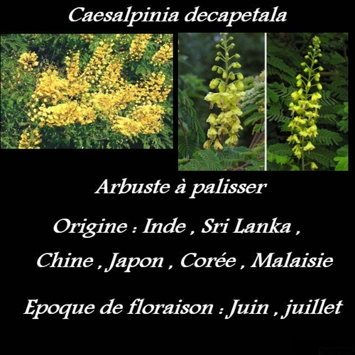 Caesalpinia decapetala