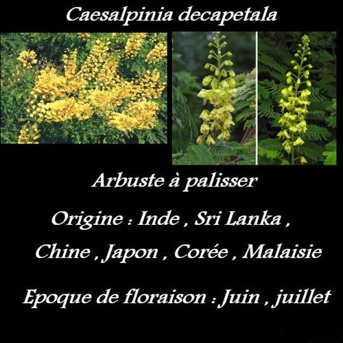 Caesalpinia decapetala
