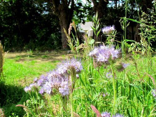 Phacélie fleurie
