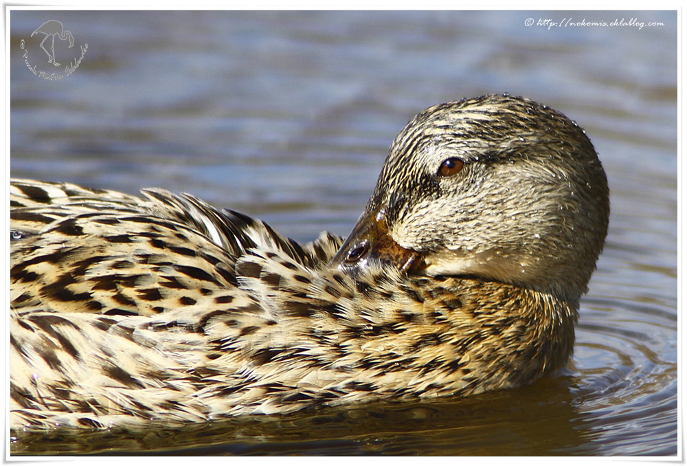 Canard colvert femelle - Anas platyrhynchos