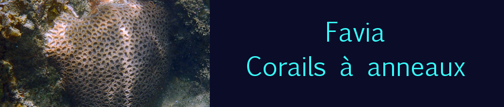 larger star coral