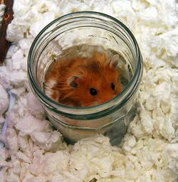 hamster bocal