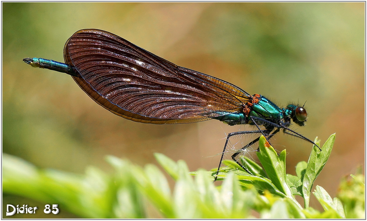 Calopyéryx Vierge (5) - Calopteryx virgo