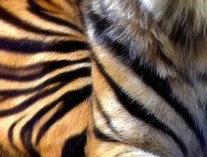 peau-tigre.jpg