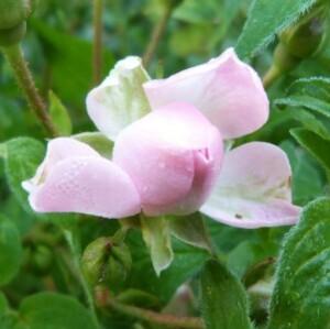 rosier-petite-francoise---juin-2014---rose-entrouverte.jpg