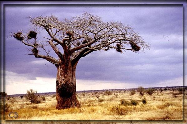 Kenya baobab
