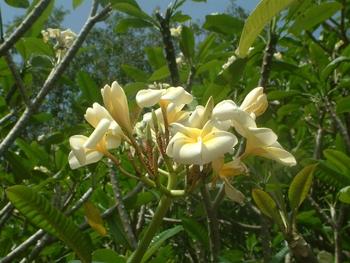 fleur-de-frangipanier