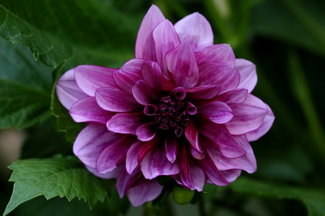 Dahlias : Blue Bell