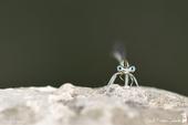 Pennipatte blanchâtre ou l'Agrion blanchâtre ♂ - Platycnemis latipes